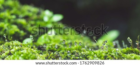 close up beautiful bright Green moss grown up and Drop of water cover the rough stones and on the floor in the forest. Show with macro view. Rocks full of the moss texture in nature for wallpaper.
