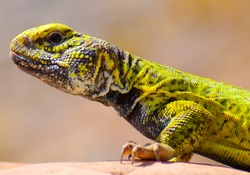 close up beautiful colorful Moroccan spiny-tailed lizard of Tata, Morocco.
