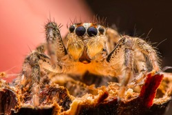 Close up  beautiful jumping spider