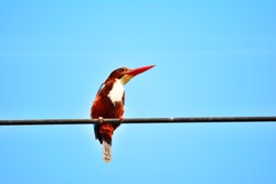 Close up beautiful Kingfisher bird on a cable with blue sky  background