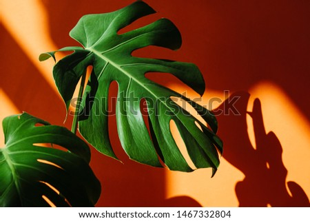 Close-up Beautiful leaves of Monstera on orange the background. Monstera in a modern interior. Minimalism concept. Background for the site