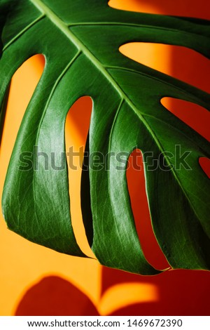 Close-up Beautiful leaves of Monstera on orange the background. Monstera in a modern interior. Flowers in the interior. Minimalism concept. Background for the site