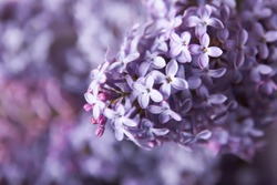 Close-up beautiful lilac flowers