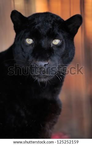 Close-up beautiful portrait black leopard #125252159