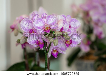 Close up beautiful purple Phalaenopsis orchids or moth orchid in a garden.