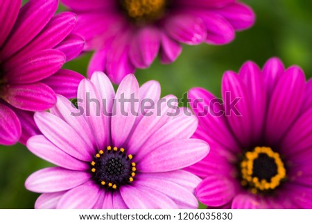 Close Up beautiful violet African daisy flower photo. Macro Flower Photography.