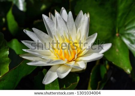 close up beautiful white lotus #1301034004