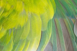 Close up beautiful wing parrot lovebird feather background