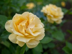 Close up beautiful yellow suffused pink hybrid tea roses fully blown adding fragrant charm to the urban landscape.