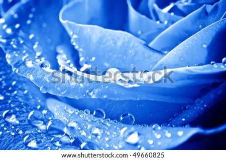 close-up beautiul blue rose with water drops