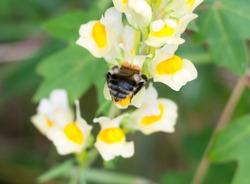 close up behind bottom bumble bee on Linaria vulgaris flower; Essex; England; UK