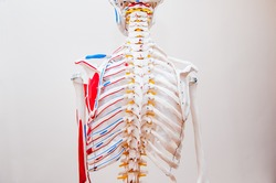 Close up behind view human skeleton thorax anatomical model. Medical clinic concept. Selective focus
