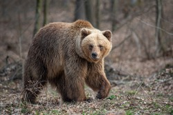 Close up big brown bear in spring forest