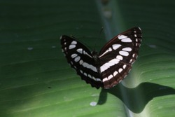 Close up black and white butterfly on green leaf