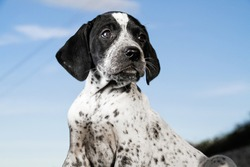 Close-up black and white german shorthaired pointer puppy dog.