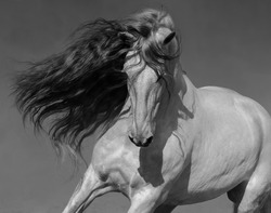 Close up black-and-white portrait of white Spanish horse with long mane.