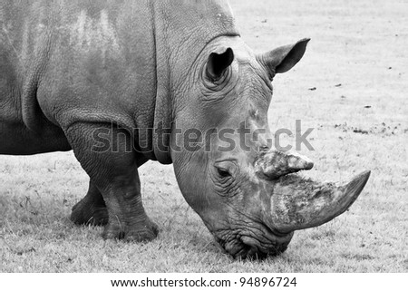 Close up black and white Rhino