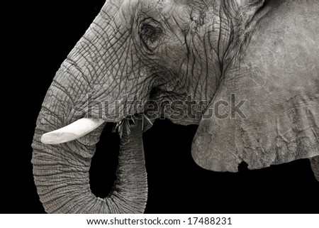 Close up black and white view of elephant's head.  Elephant is eating grass.
