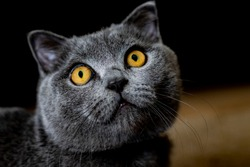 close up black british shorthair has beautiful yellow eyes. animal care and pets concept