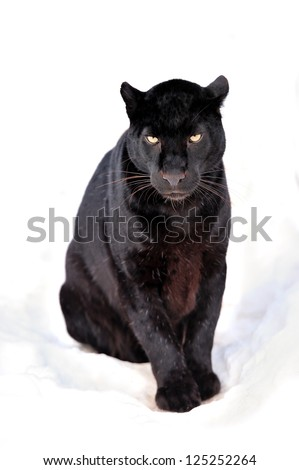 Close-up black leopard on snow
