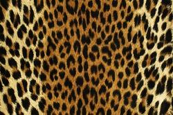 Close up black spots of a leopard