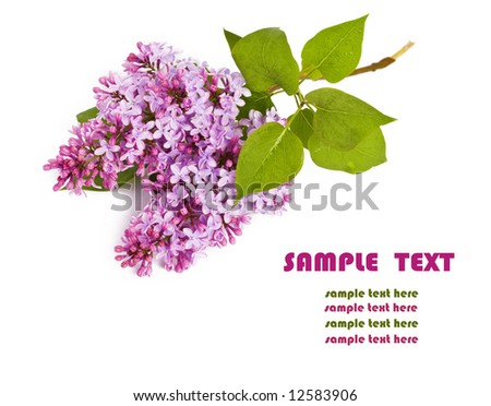 Close up blooming lilac  flowers