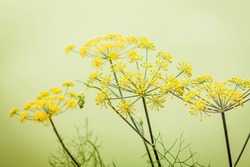 Close up blossoming branch of fennel on light green background.Selective focus depth of field.