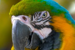 Close up Blue and gold macaw parrot head. Exotic colorful African macaw parrot, beautiful close up on bird face over natural green blurred soft background.