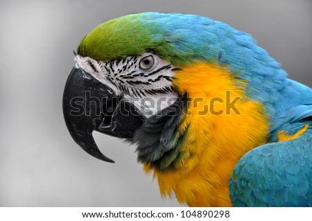 Close-up Blue-and-yellow Macaw Ara ararauna head