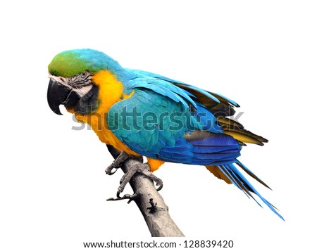 Close-up Blue-and-yellow Macaw Ara ararauna isolated on white background