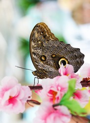 Close-up blue morpho butterfly in Flowers/Butterfly in nature/Butterfly in nature