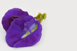 Close up, Blue pea flower isolated on white background. (Clitoria ternatea)