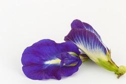 Close up, Blue pea flower isolated on white background. (Clitoria ternatea)