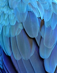 Close up blue texture of blue and gold macaw parrot's back feathers, amazing background