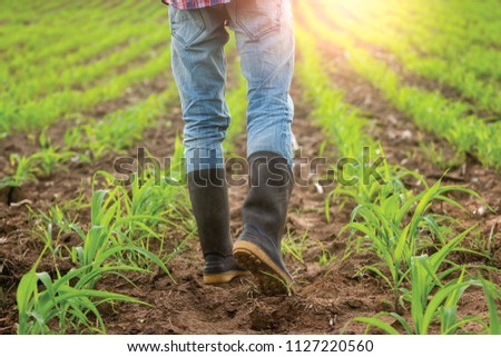 Close up boots. Farmer survey in his cornfield at sunset watching his crop