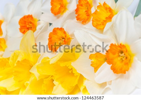 Close up bouquet of beautiful of yellow and white narcissus, selective focus