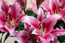 Close-up bouquet of pink lilies