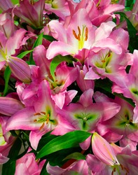 Close-up bouquet of pink lilies. natural lilly floral background, texture of lily petals