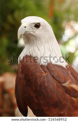 Close up Brahminy Kite ,Red-backed Sea Eagle