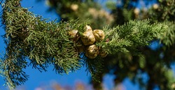 Close-up branch of Mediterranean cypress with round brown cones seeds against blue sky background. Cupressus sempervirens, Italian cypress or pencil pine in Sochi city park Soft selective focus