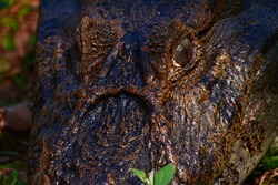 CLOSE UP Brazilian Croc, Crocs from Pantanal BRazil, crocs, eyes Pantanal Wildlife