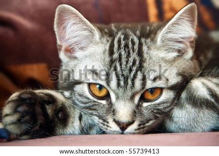 close-up British Shorthair kitten with the classic tabby markings