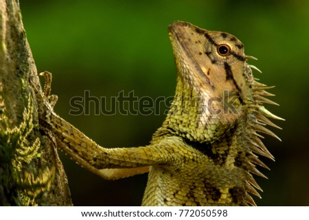 Close up brown chameleon, garden lizard perched on the tree. #772050598