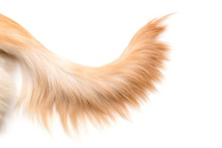 Close up brown dog tail (Golden Retriever) isolated on white background. Top view with copy space for text or design