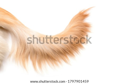 Photo of  Close up brown dog tail (Golden Retriever) isolated on white background. Top view with copy space for text or design