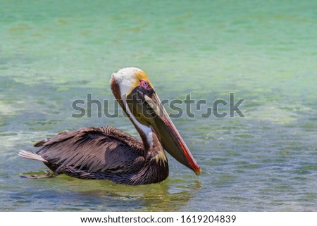 Close up brown pelican swims on sea water in Bonaire Сток-фото ©