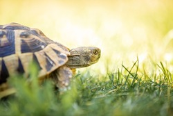 Close up brown tortoise is walking on field lit with sun. Bright colourful positive spring summer bokeh green and yellow natural background with copy space. Spring happy poster. Summer outdoor banner
