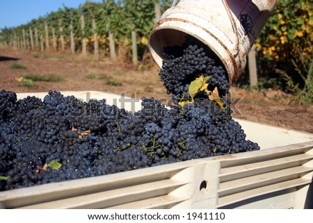 Close up bucket of grapes being dumped into a full bin