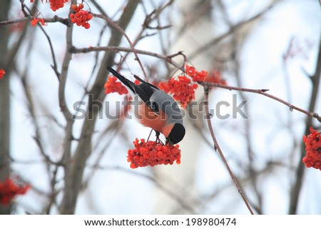 close-up bullfinches on branches of maple and rowan winter February day