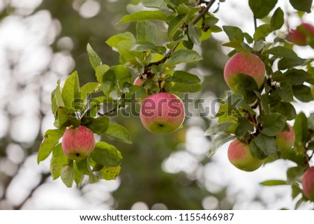 Close-up bunch of beautiful green apples with drops of dew hanging ripening on apple tree branch with green leaves lit by bright summer sun on blurred bokeh blue background. Agriculture concept. #1155466987
